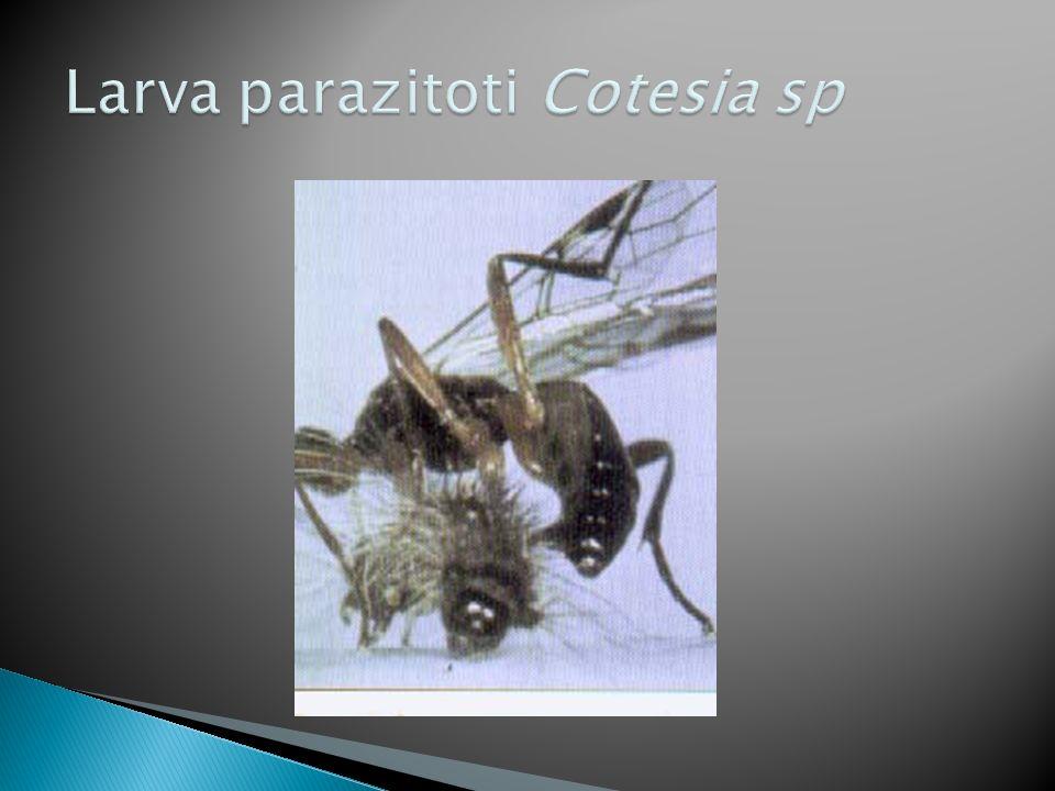 Larva parazitoti Cotesia sp