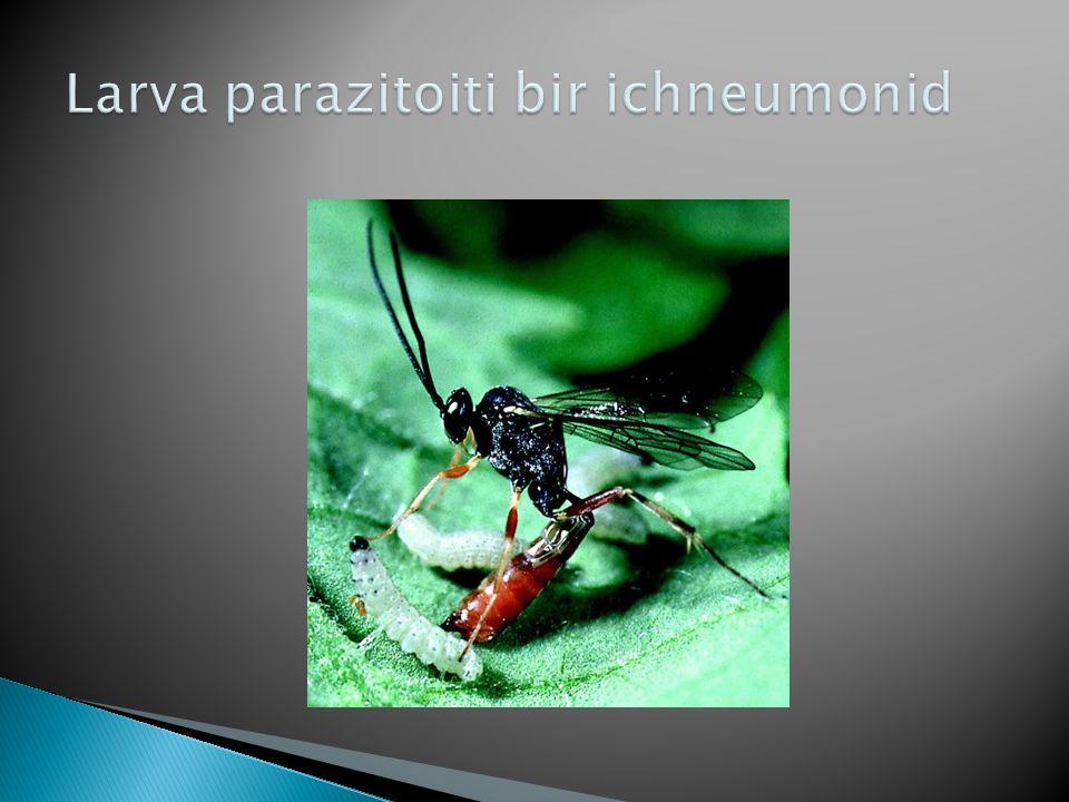 Larva parazitoiti bir ichneumonid