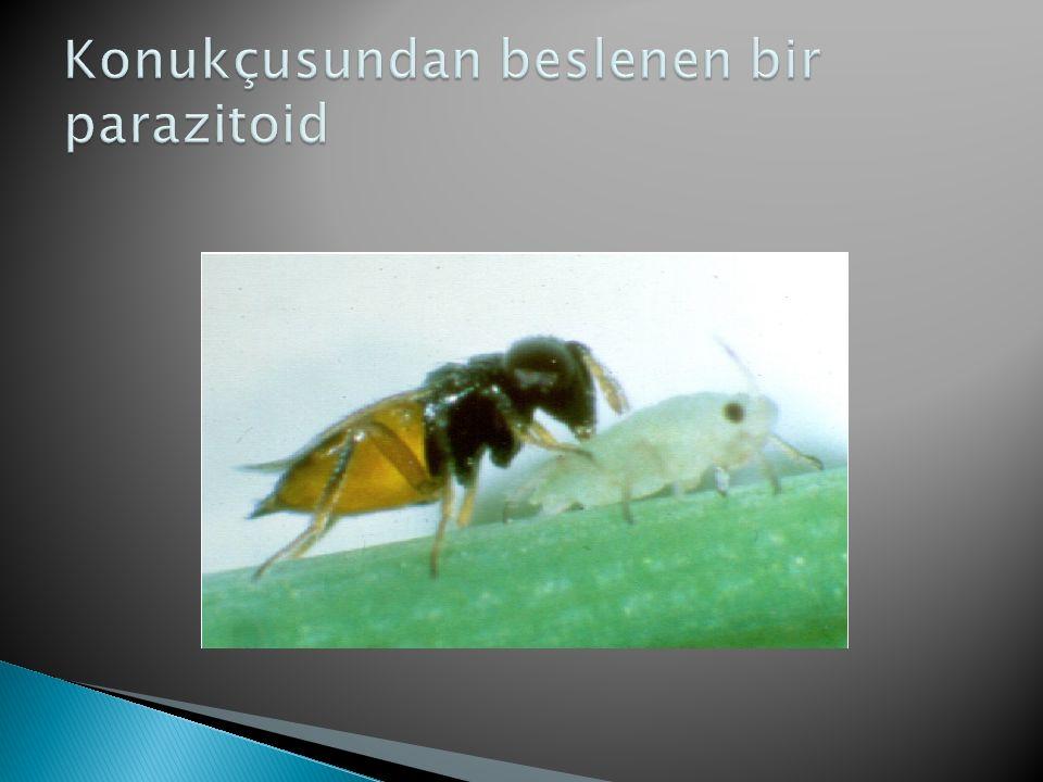 Konukçusundan beslenen bir parazitoid