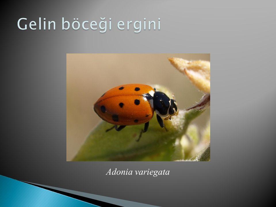 Gelin böceği ergini Adonia variegata