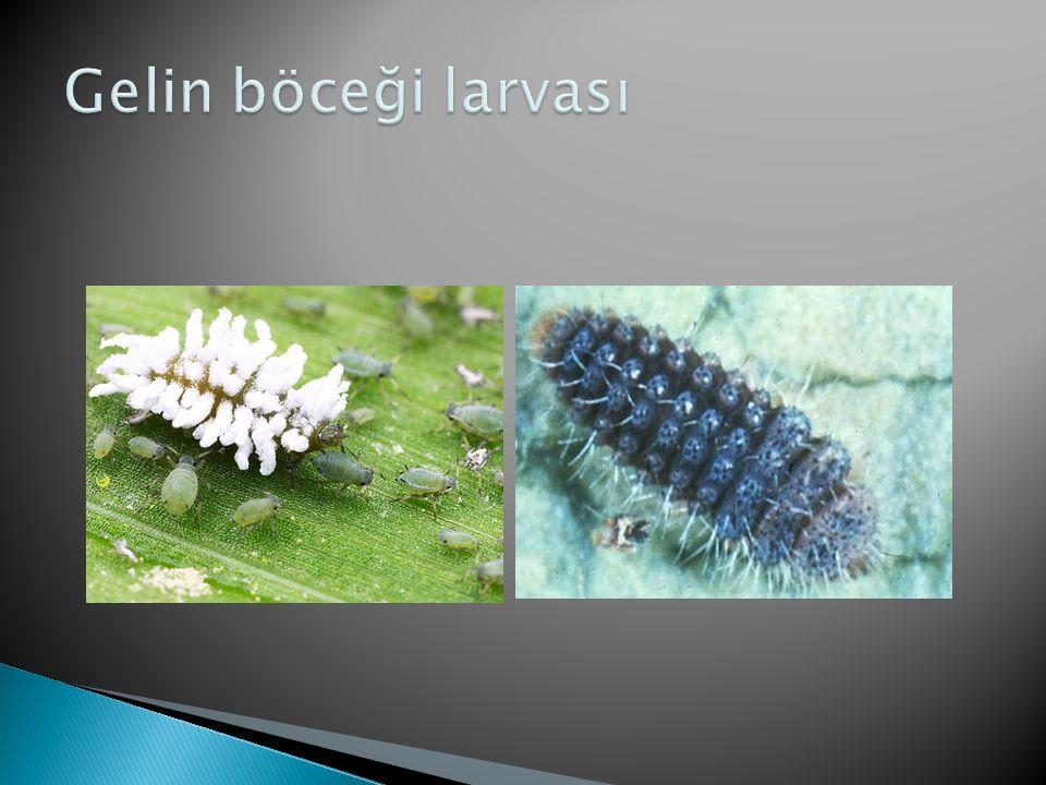 Gelin böceği larvası