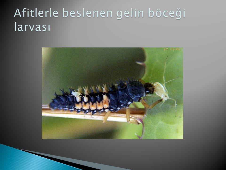 Afitlerle beslenen gelin böceği larvası