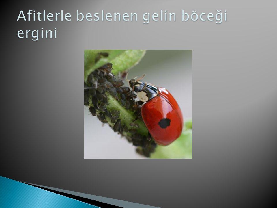 Afitlerle beslenen gelin böceği ergini