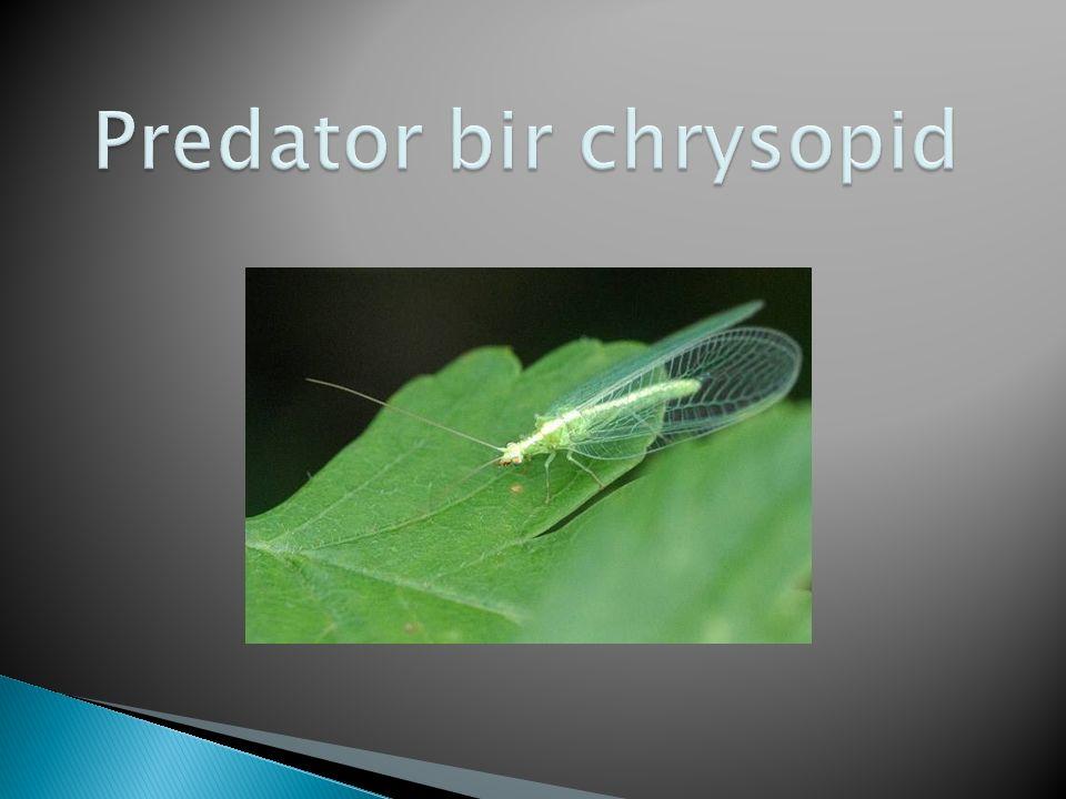 Predator bir chrysopid