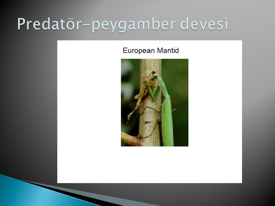 Predatör-peygamber devesi