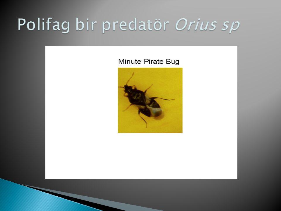 Polifag bir predatör Orius sp