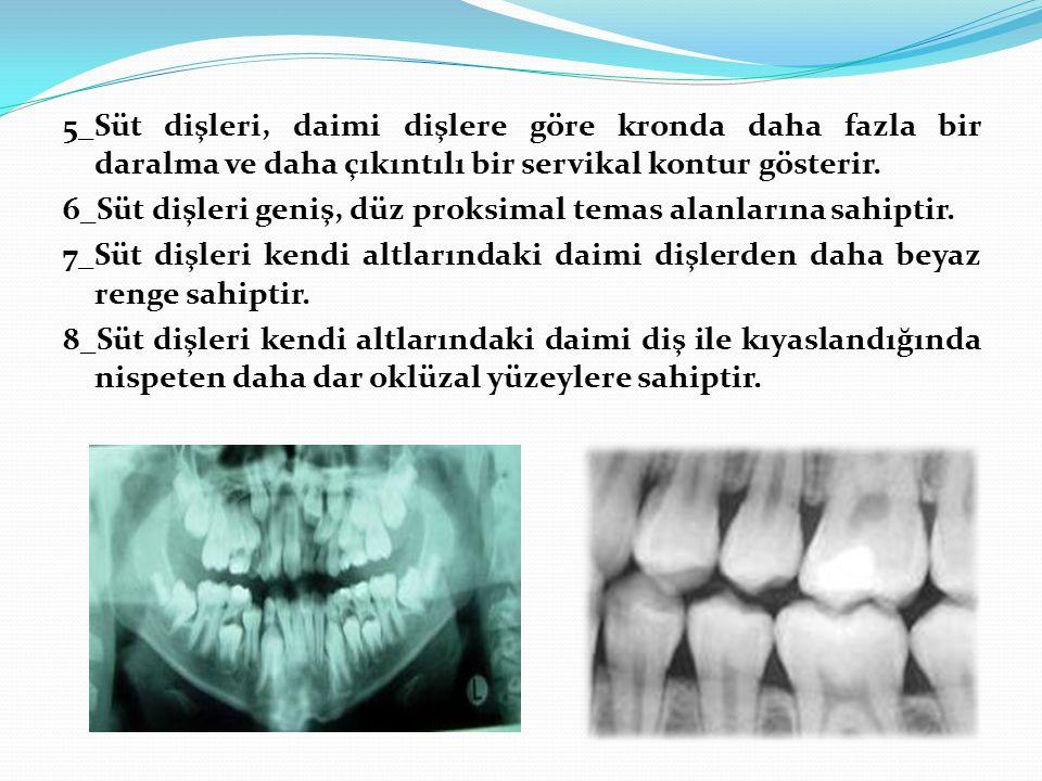 5_Süt dişleri, daimi dişlere göre kronda daha fazla bir daralma ve daha çıkıntılı bir servikal kontur gösterir.
