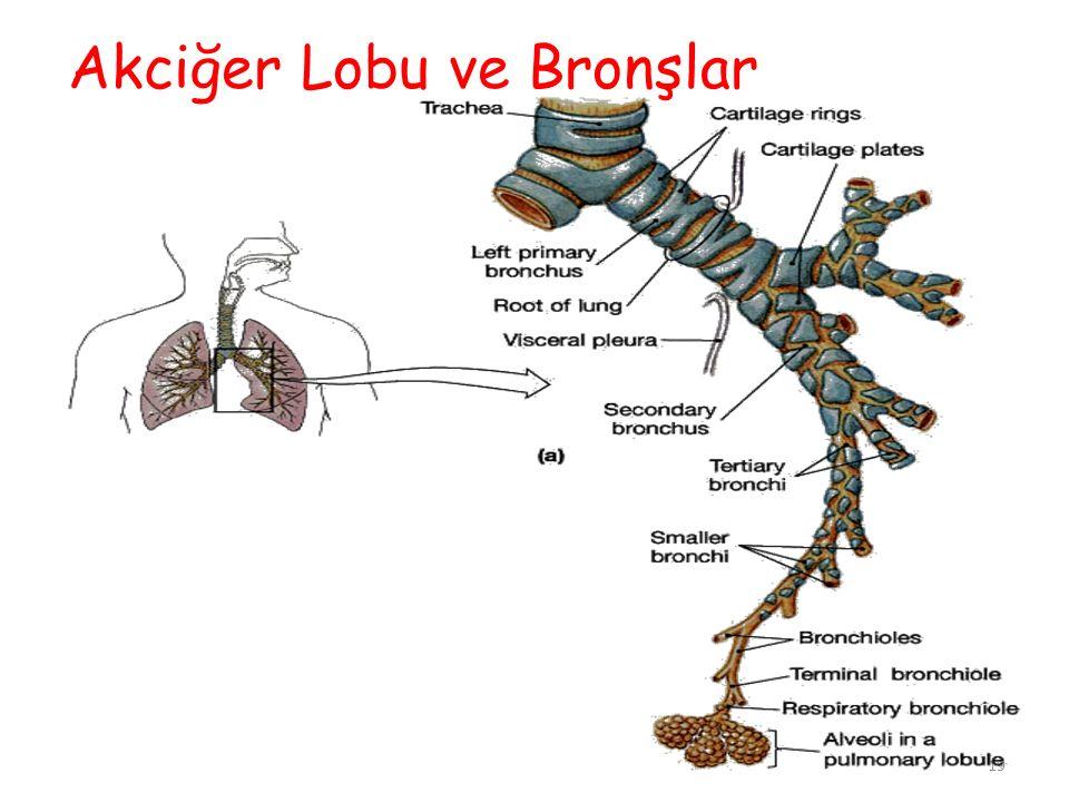 Akciğer Lobu ve Bronşlar