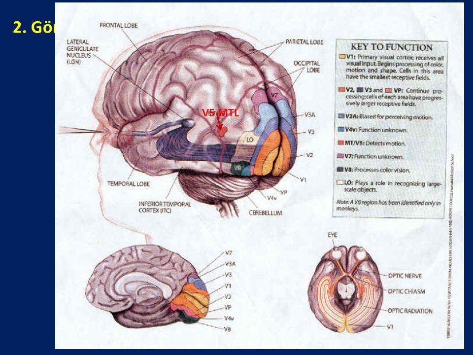2. Görsel-Uzaysal Süreçlerle İlgili Beyin Alanları: Nerede