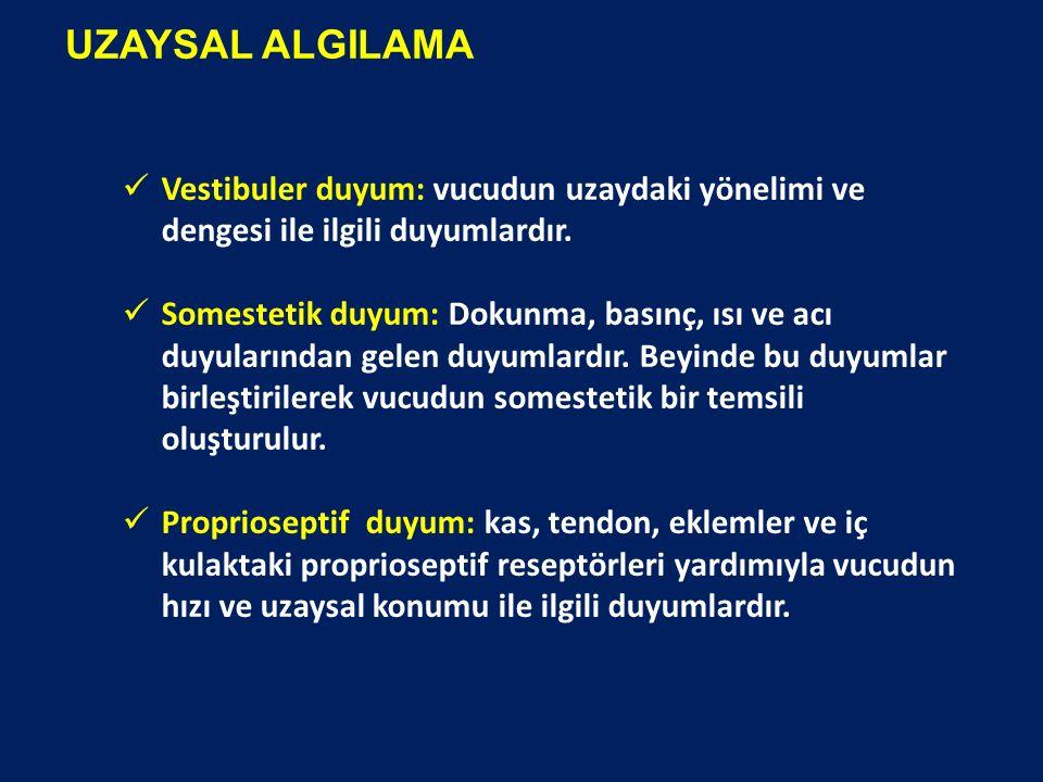UZAYSAL ALGILAMA Vestibuler duyum: vucudun uzaydaki yönelimi ve dengesi ile ilgili duyumlardır.