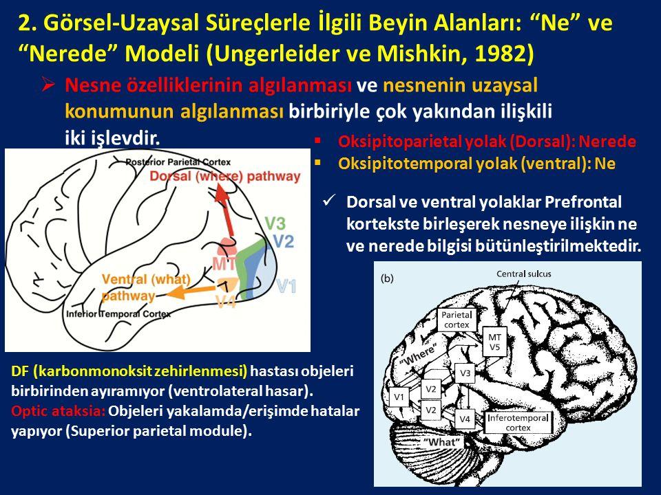2. Görsel-Uzaysal Süreçlerle İlgili Beyin Alanları: Ne ve Nerede Modeli (Ungerleider ve Mishkin, 1982)