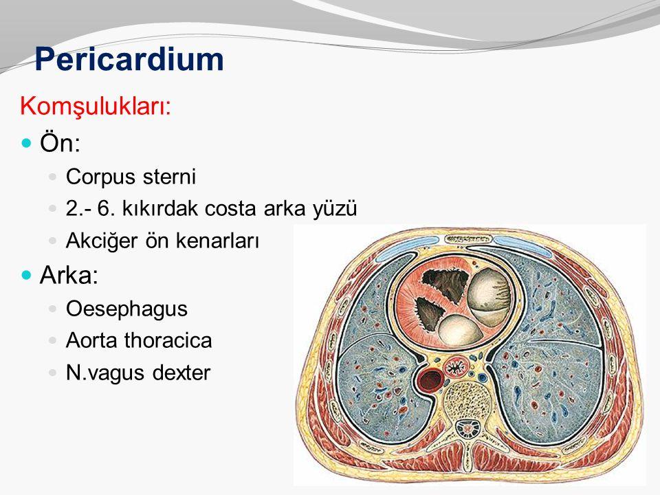 Pericardium Komşulukları: Ön: Arka: Corpus sterni