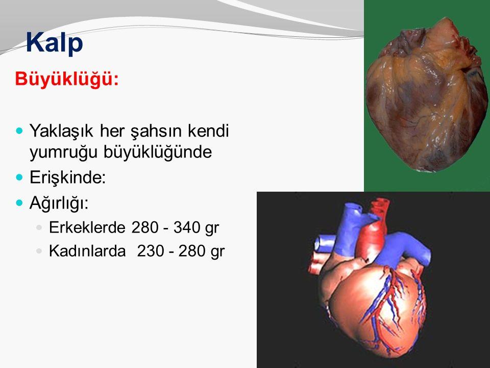 Kalp Büyüklüğü: Yaklaşık her şahsın kendi yumruğu büyüklüğünde