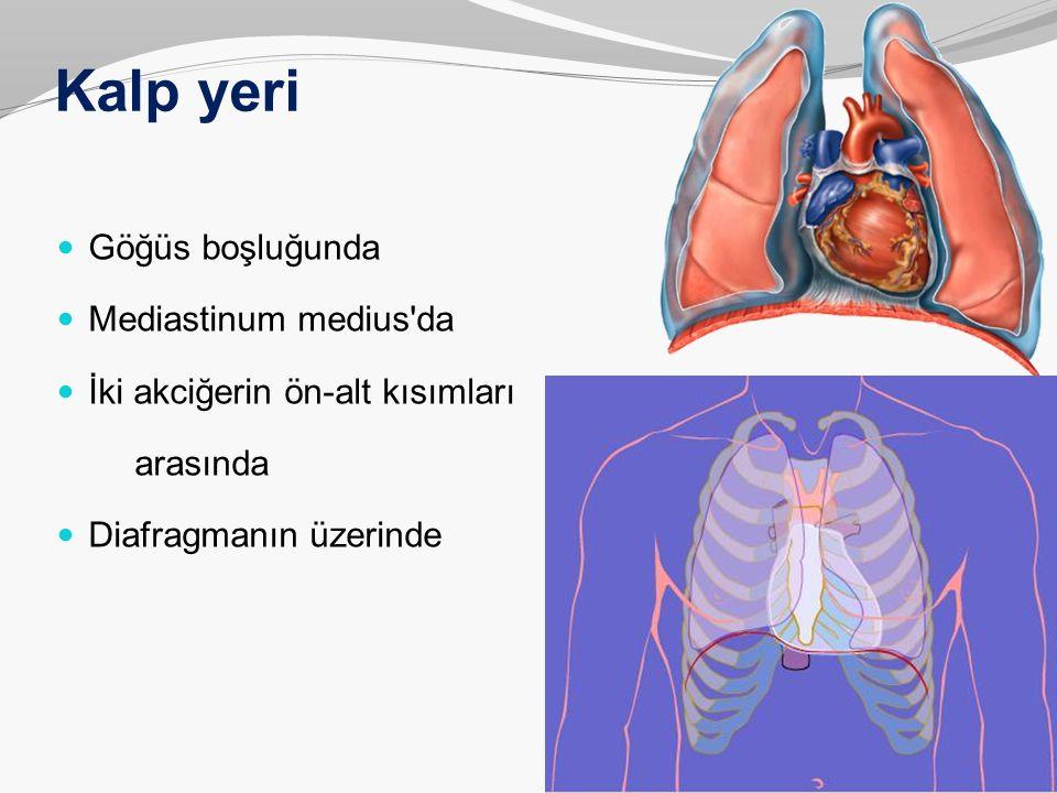 Kalp yeri Göğüs boşluğunda Mediastinum medius da
