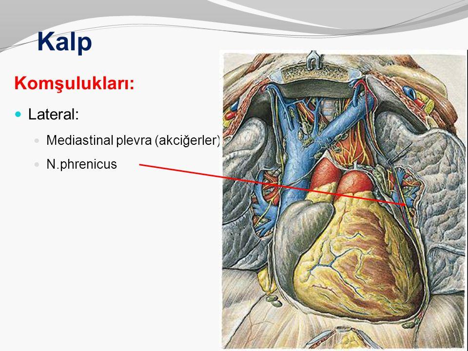 Kalp Komşulukları: Lateral: Mediastinal plevra (akciğerler)