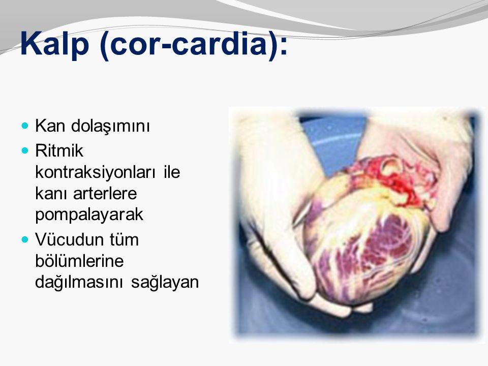 Kalp (cor-cardia): Kan dolaşımını