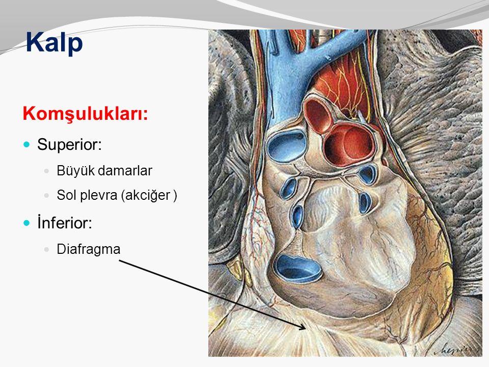 Kalp Komşulukları: Superior: İnferior: Büyük damarlar
