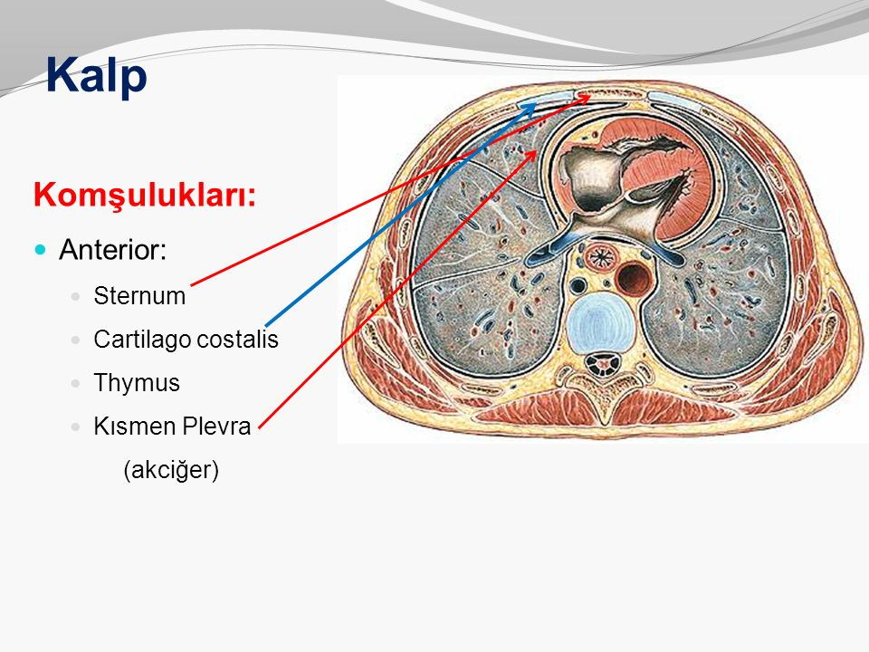 Kalp Komşulukları: Anterior: Sternum Cartilago costalis Thymus