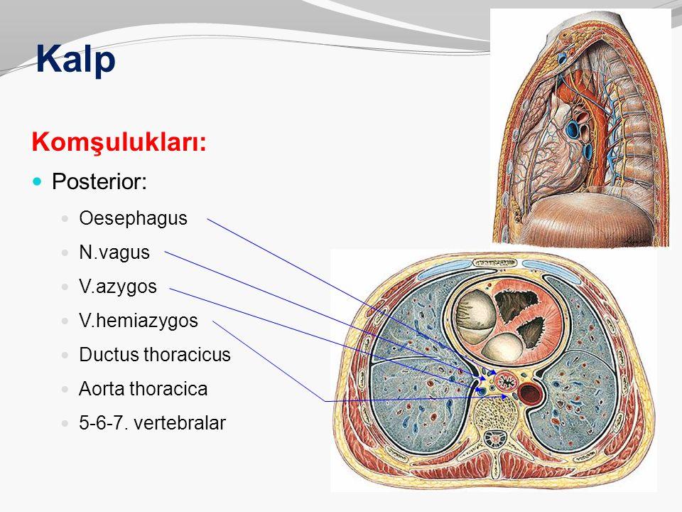 Kalp Komşulukları: Posterior: Oesephagus N.vagus V.azygos V.hemiazygos