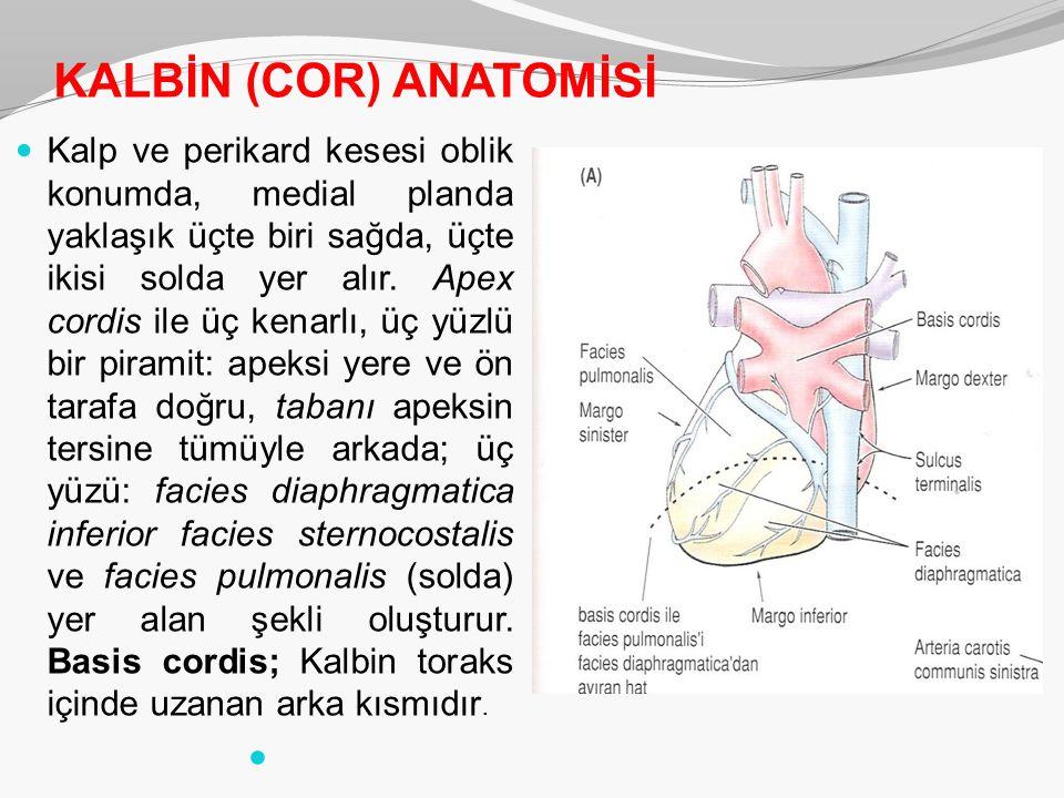 KALBİN (COR) ANATOMİSİ