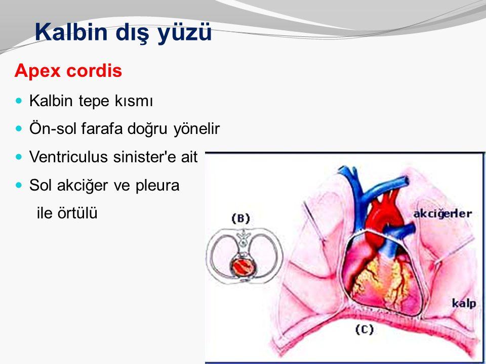 Kalbin dış yüzü Apex cordis Kalbin tepe kısmı