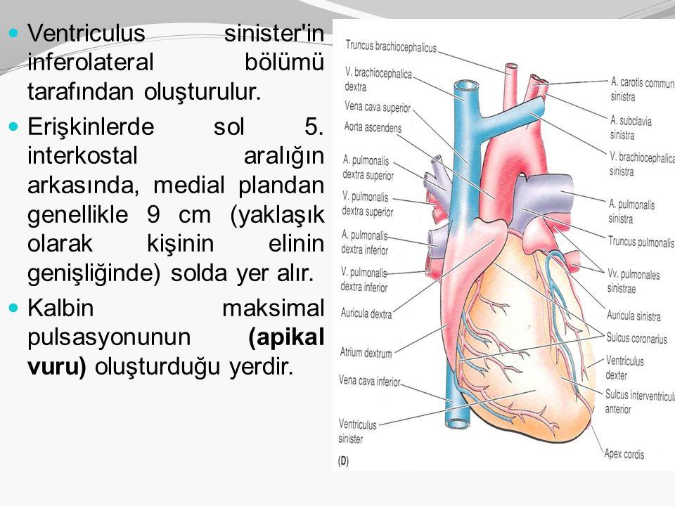 Apex cordis Ventriculus sinister in inferolateral bölümü tarafından oluşturulur.
