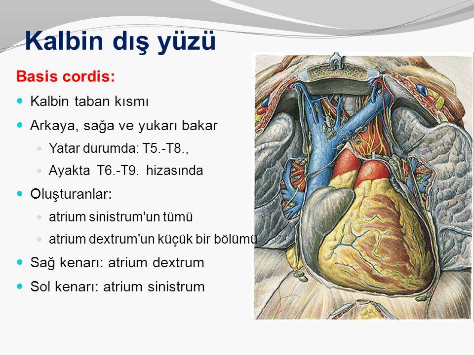 Kalbin dış yüzü Basis cordis: Kalbin taban kısmı