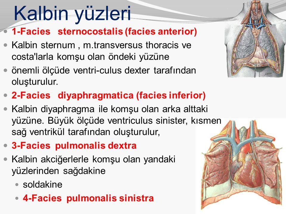 Kalbin yüzleri 1-Facies sternocostalis (facies anterior)