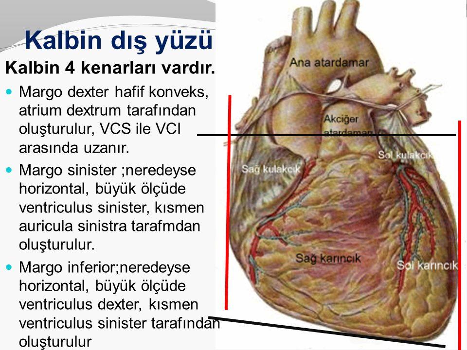 Kalbin dış yüzü Kalbin 4 kenarları vardır.