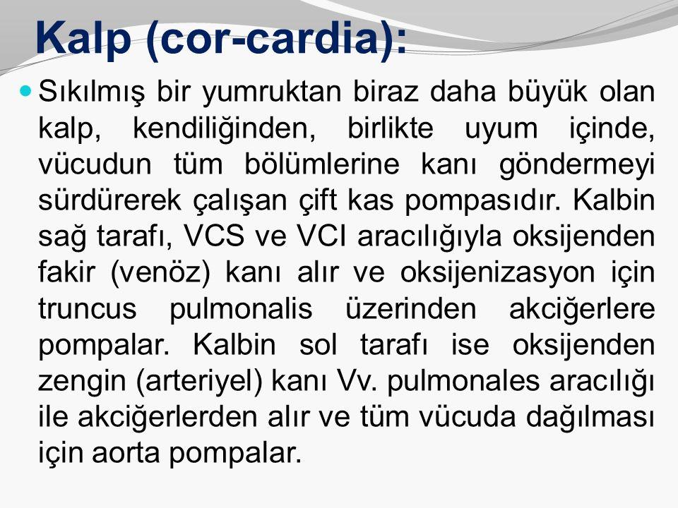 Kalp (cor-cardia):