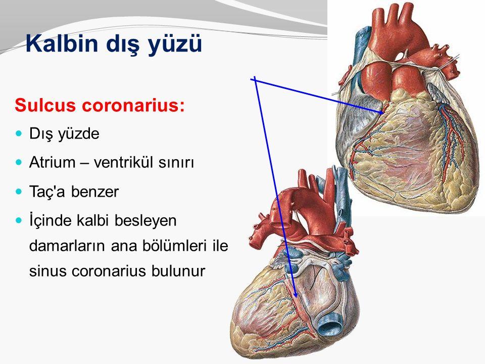 Kalbin dış yüzü Sulcus coronarius: Dış yüzde Atrium – ventrikül sınırı