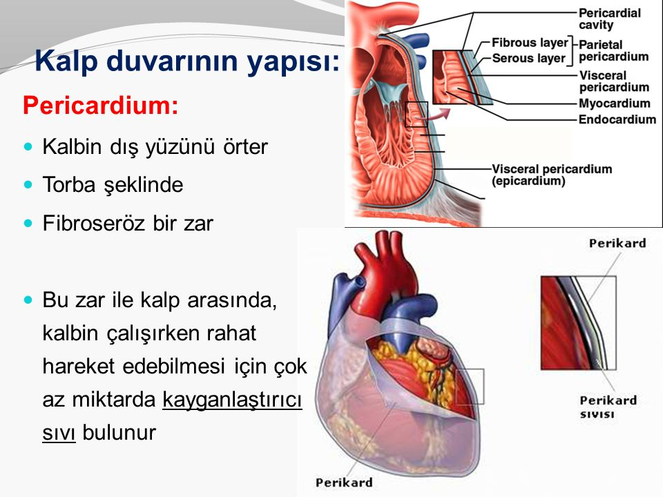 Kalp duvarının yapısı: