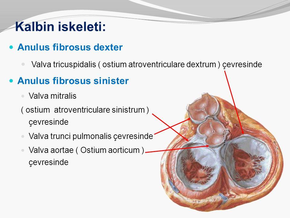 Kalbin iskeleti: Anulus fibrosus dexter