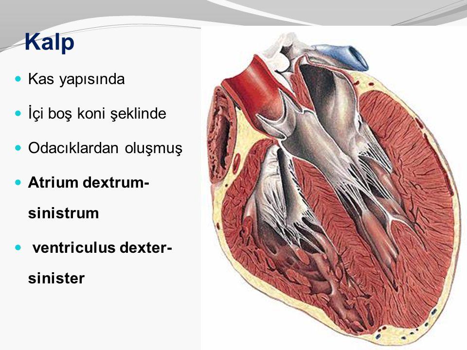 Kalp Kas yapısında İçi boş koni şeklinde Odacıklardan oluşmuş