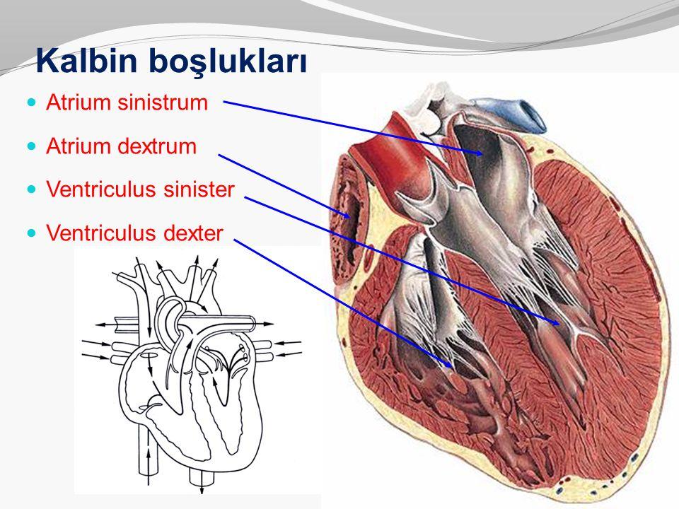 Kalbin boşlukları Atrium sinistrum Atrium dextrum Ventriculus sinister