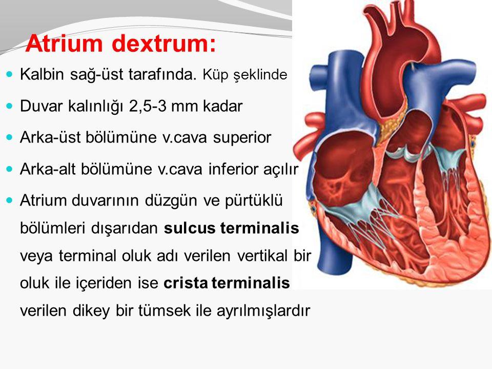 Atrium dextrum: Kalbin sağ-üst tarafında. Küp şeklinde