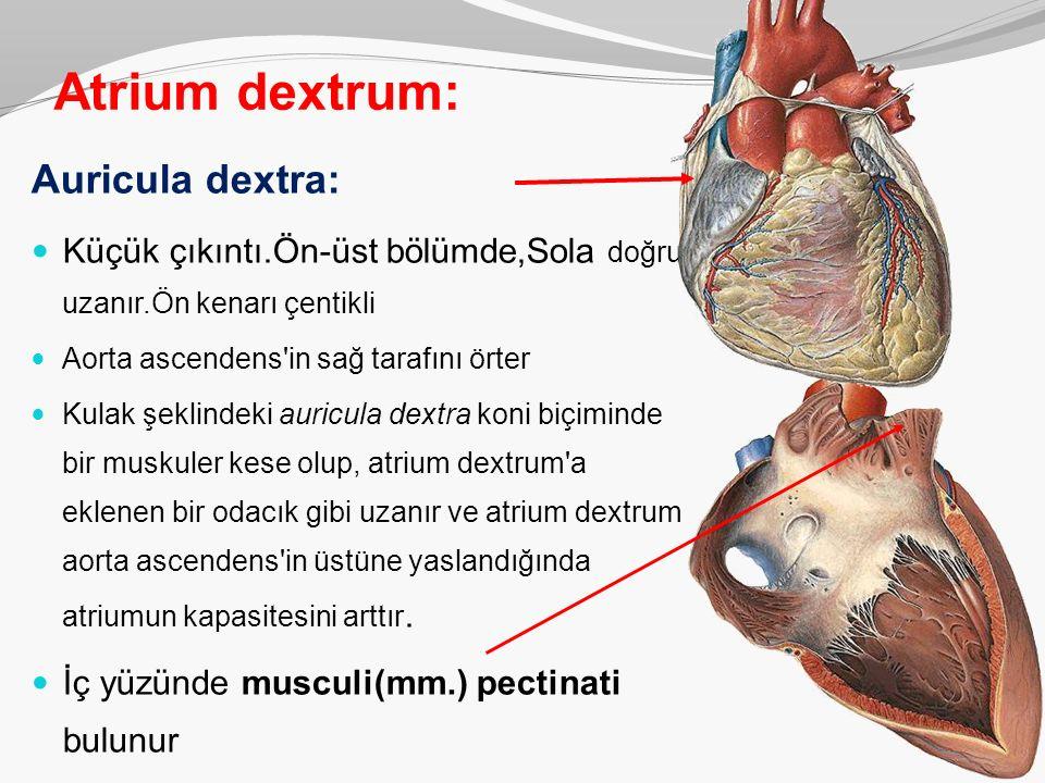 Atrium dextrum: Auricula dextra: