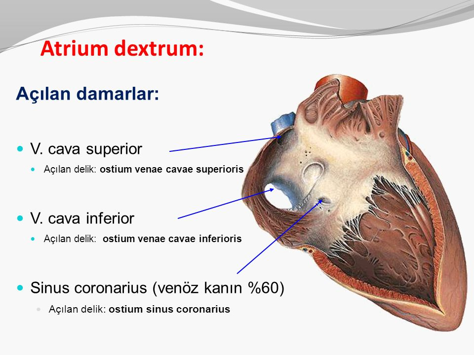 Atrium dextrum: Açılan damarlar: V. cava superior V. cava inferior