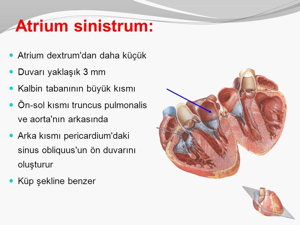 Atrium sinistrum: Atrium dextrum dan daha küçük Duvarı yaklaşık 3 mm