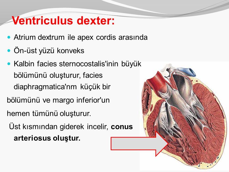 Ventriculus dexter: Atrium dextrum ile apex cordis arasında