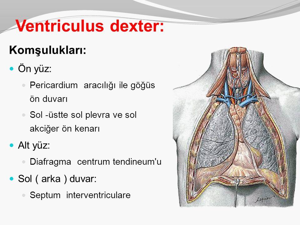 Ventriculus dexter: Komşulukları: Ön yüz: Alt yüz: Sol ( arka ) duvar: