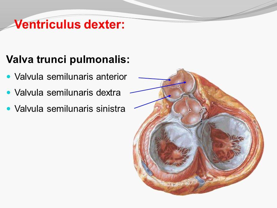 Ventriculus dexter: Valva trunci pulmonalis: