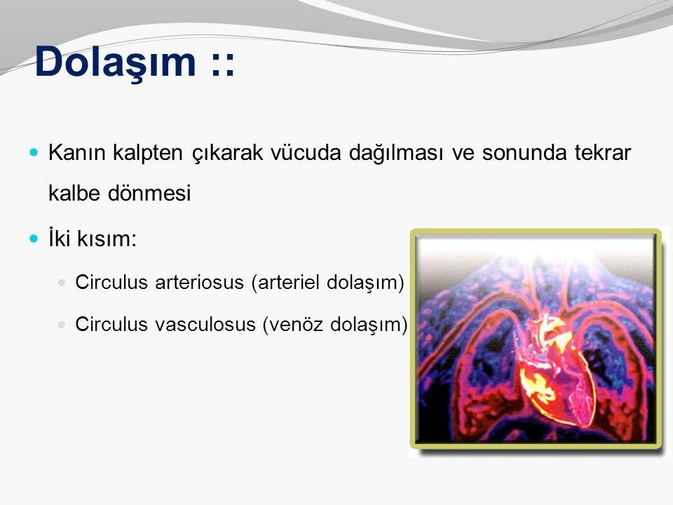 Dolaşım :: Kanın kalpten çıkarak vücuda dağılması ve sonunda tekrar kalbe dönmesi. İki kısım: Circulus arteriosus (arteriel dolaşım)