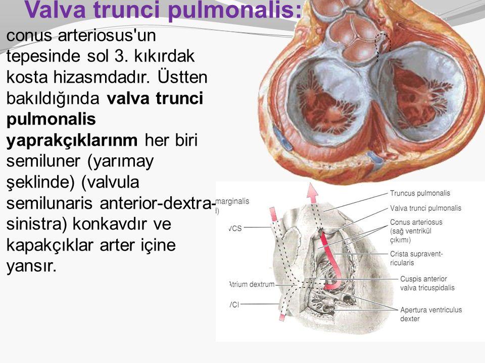Valva trunci pulmonalis: