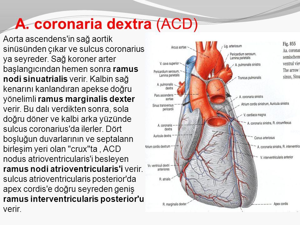 A. coronaria dextra (ACD)