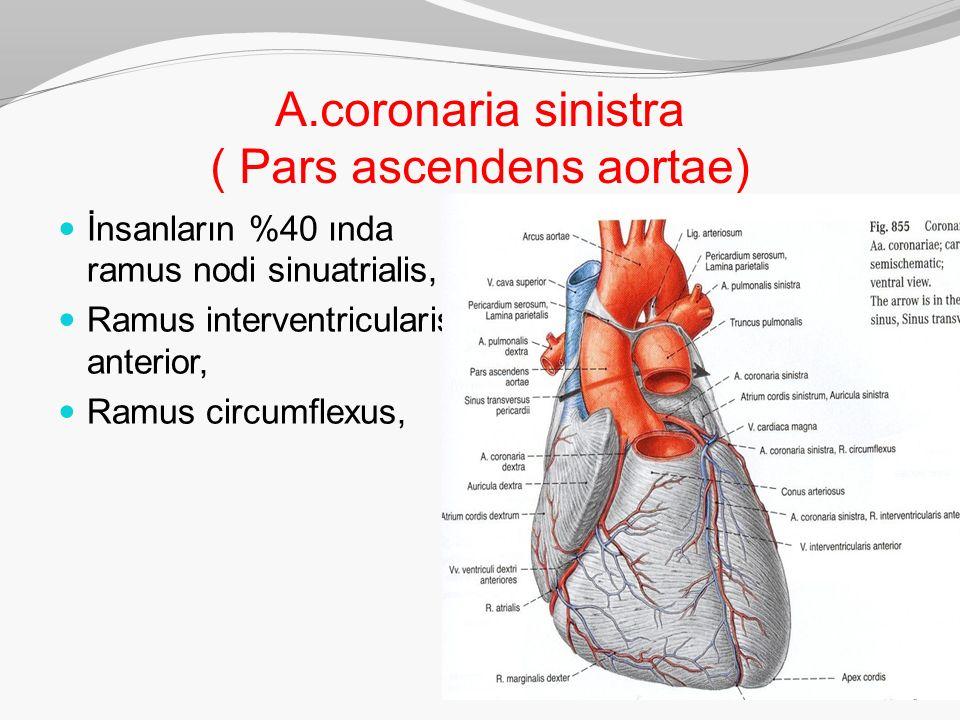 A.coronaria sinistra ( Pars ascendens aortae)