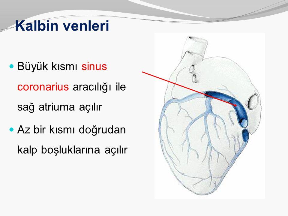 Kalbin venleri Büyük kısmı sinus coronarius aracılığı ile sağ atriuma açılır.