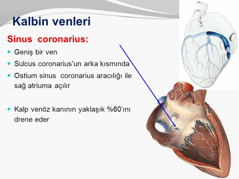 Kalbin venleri Sinus coronarius: Geniş bir ven