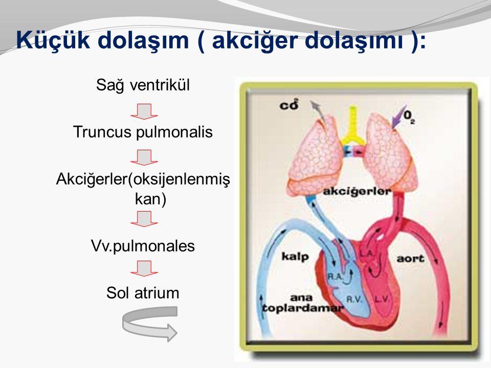 Küçük dolaşım ( akciğer dolaşımı ):