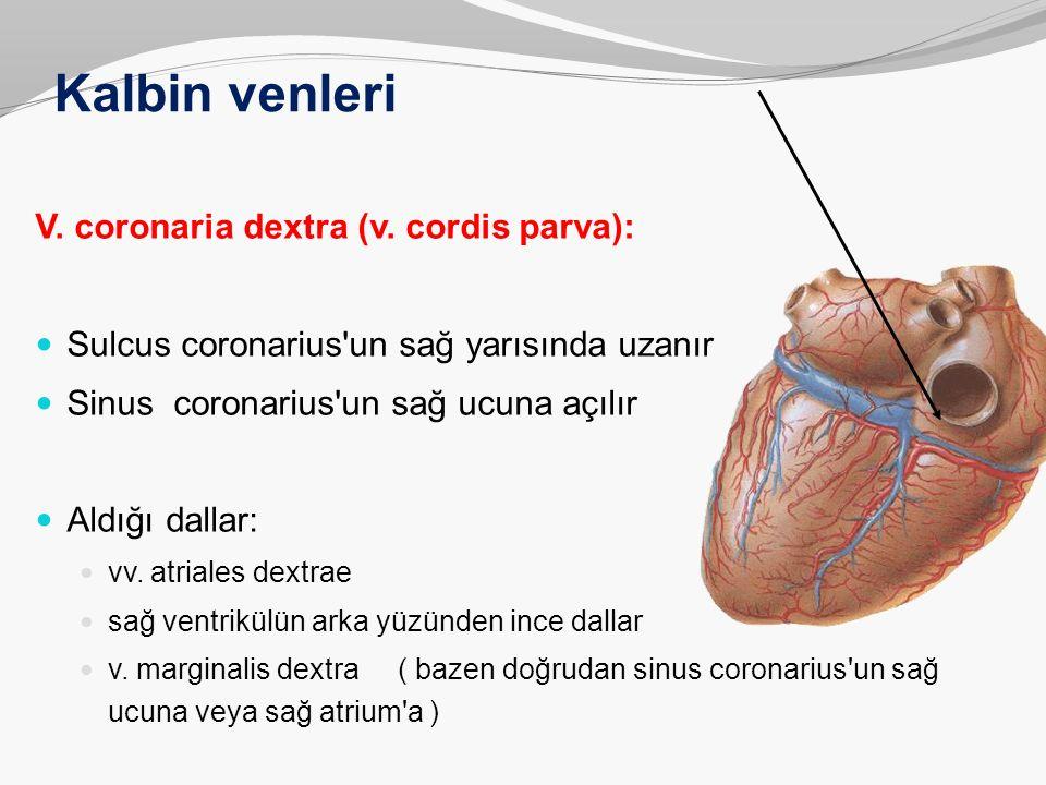 Kalbin venleri V. coronaria dextra (v. cordis parva):